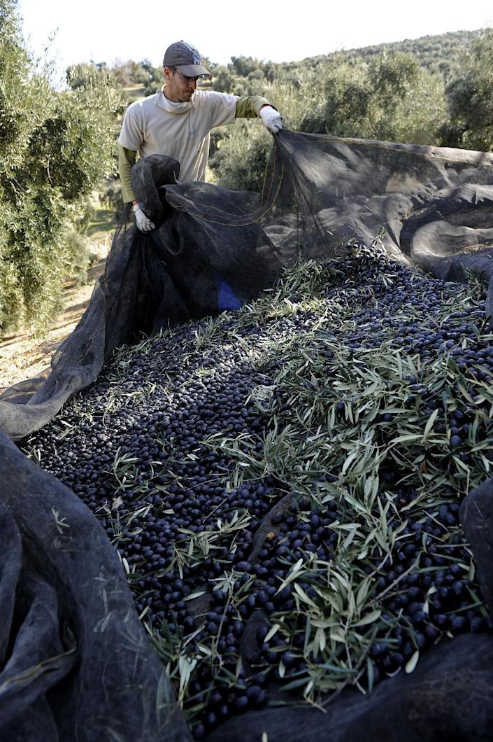 A worker uses a net to collect olives on a farm in the southern Spanish village of Iznajar on March 6, 2012 (AFP Photo/Cristina Quicler)