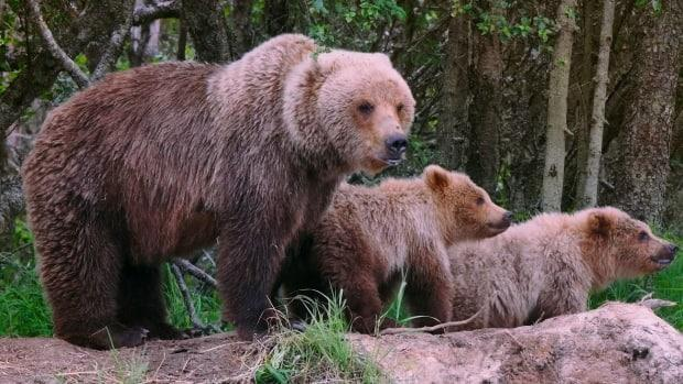 Two men are in hospital after encountering grizzly sows in Alberta's Rocky Mountains on Sunday. (Karine Genest - image credit)