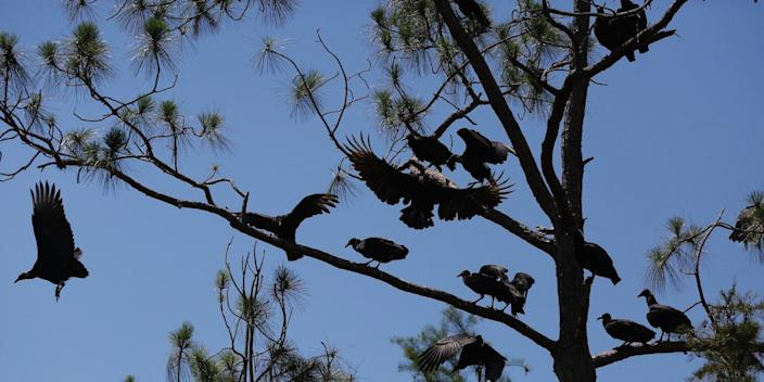 A committee of black vultures.