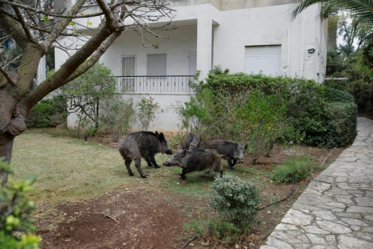 In Haifa, there have been no recent cases of wild boars attacking people, but some residents are concerned