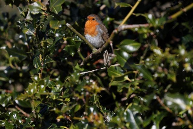 A robin was also out in the gardens