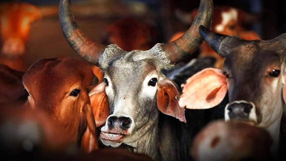 Amid soaring fuel prices, government body suggests using cow-dung CNG