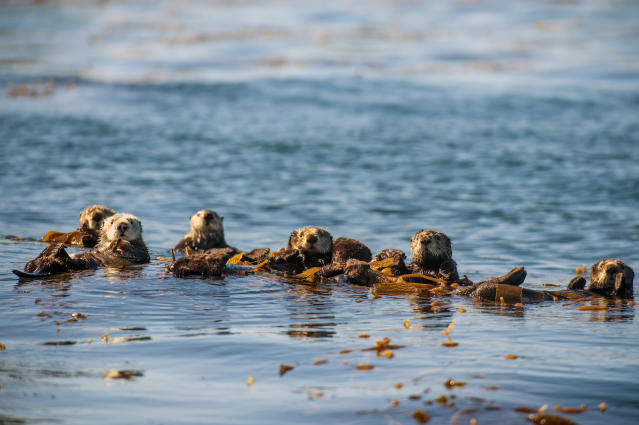 When not hunting, sea otters rest by floating on their backs, frequently wrapping themselves in fronds of kelp for better stability. (Photo: Espen Rekdal/ BBC America)
