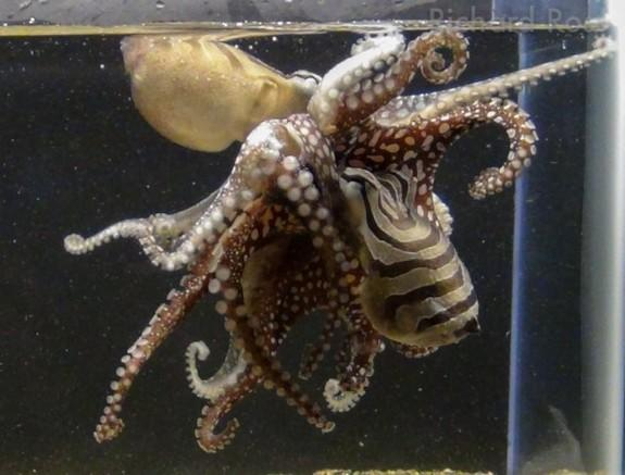 Unlike other octopus species, Larger Pacific Striped Octopuses mate in an intimate clinch with their beaks and suckers pressed against each other