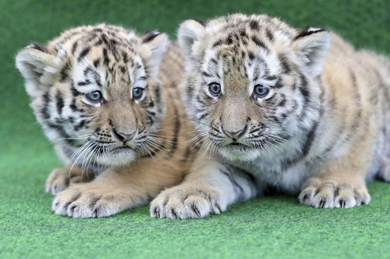 <p>Two six-week-old tiger cubs wait to be vaccinated at the zoo in Leipzig, eastern Germany, Tuesday, April 11, 2017. (Jan Woitas/dpa via AP) </p>