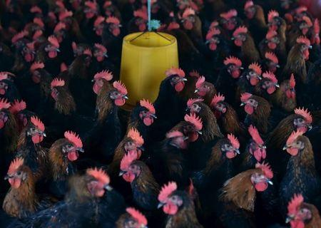 Chickens are seen at a poultry farm on the outskirt of Hefei