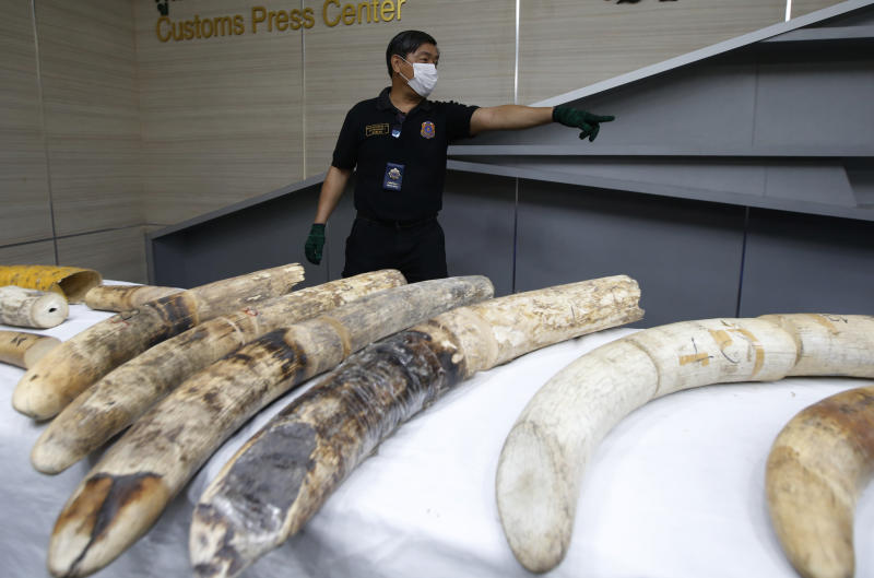 A Thai customs official displays seized ivory during a press conference in Bangkok, Thailand, Friday, Jan. 12, 2018. Thai authorities have seized 148 kilograms (326 pounds) of African elephant ivory, including three large tusks, worth around 15 million baht ($469,800) from a Bangkok airport. (AP Photo/Sakchai Lalit)
