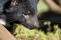 It is estimated that fewer than 25,000 Tasmanian devils still live in the wild