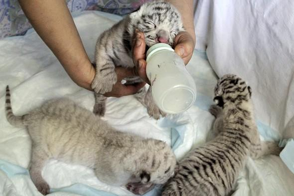 White tiger gives birth to adorable rare cubs in Ukraine zoo