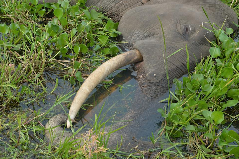 File photo: An elephant found dead in a field in West Bengal, India, on 19 October, 2019, with electrocution suspected as cause of death (AFP via Getty Images)
