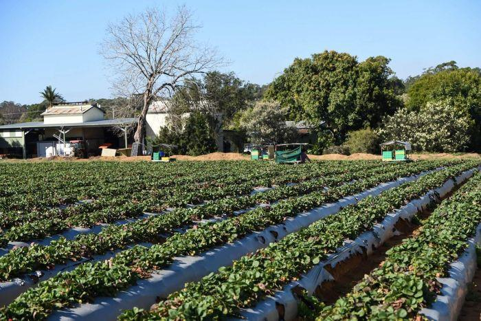 View over strawberry field towards packing shed