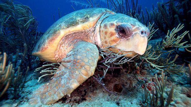 PHOTO: Loggerhead turtle swims in a reef off Florida. (Mark Conlin/Vw Pics/Universal Images Group via Getty Images, FILE)