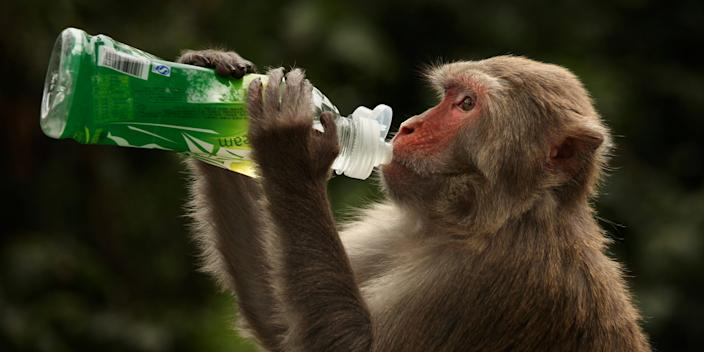 <br>A rhesus macaque monkey in Hong Kong on April 30, 2011.