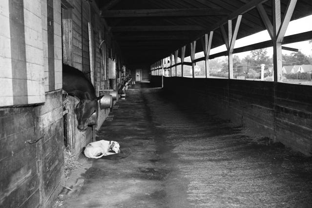 FILE - In this Saturday, May 5, 1945, file photo, the day the Kentucky Derby was supposed to take place, racehorse Fighting Don, owned by Miss Gertrude Donovan, looks out of his stall at a sleeping dog at Churchill Downs in Louisville, Ky. The 71st running of the Kentucky Derby, scheduled for May 5, 1945, was postponed until June because of World War II. Churchill Downs postponed the 146th running of the Derby until September 2020, due to concern over the coronavirus pandemic that has wreaked havoc with the world's sports calendar. (AP Photo/Fle)