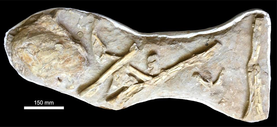 The original slab, as purchased, with the coelacanth ossified lung in close proximity to a series of associated, but disarticulated wing elements of a large, but indeterminate pterosaur (University of Portsmouth/PA)