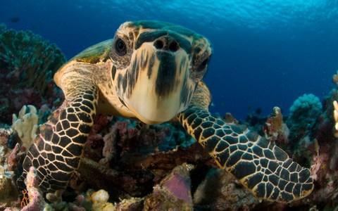 A hawksbill turtle - Credit: Getty