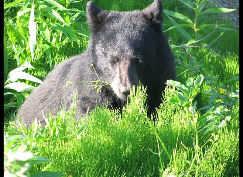 A young black bear is seen grazing near the Mendenhall Glacier Visitor Center on Saturday, June 23, 2012, in Juneau, Alaska. (AP Photo/Becky Bohrer)