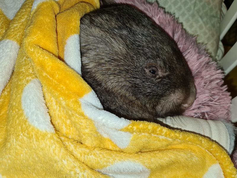 Harold is seen curled up in a yellow blanket.
