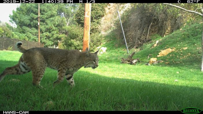 "A bobcat ventures just outside the boundary to Griffith Park on Dec. 22, 2019. Since the pandemic, wildlife is expanding its territory after humans decamped from the streets. <span class=""copyright"">(Gerry Hans)</span>"