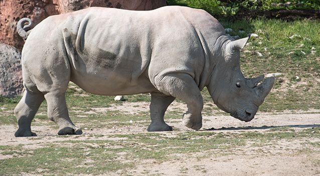 The woman was gored by a rhino. Source: Getty Images / Stock image