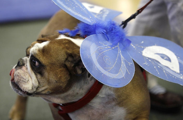Winnie, owned by Susan Sherzan, of West Des Moines, Iowa, looks on during the 33rd annual Drake Relays Beautiful Bulldog Contest Monday, April 23, 2012, in Des Moines, Iowa. The pageant kicks off the Drake Relays festivities at Drake University where a bulldog is the mascot. (AP Photo/Charlie Neibergall)