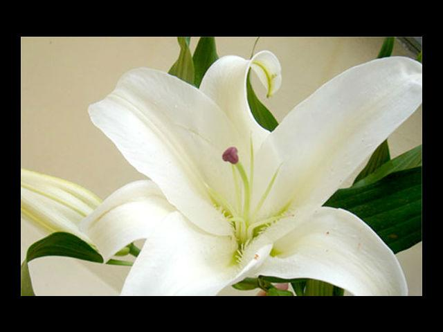 <b>Casablanca means Celebration </b><br> A perfect birthday gift! Or, the most beautiful flowers you can give her on your anniversary.