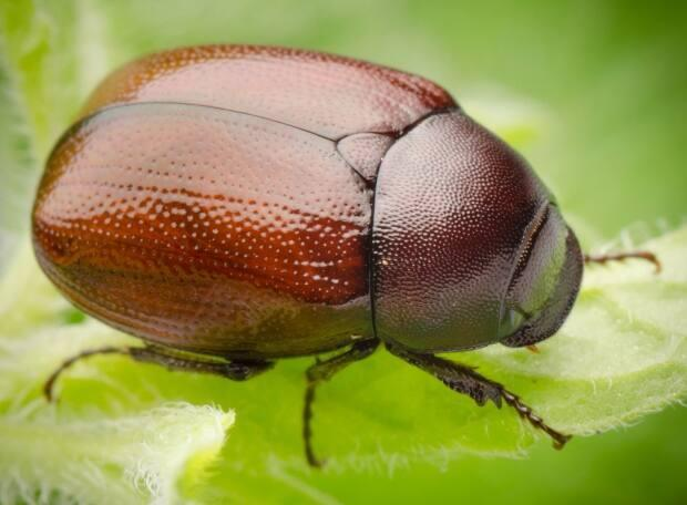 'If you take a June bug and you kind of hold it between your thumb and forefinger and you look at it nice and close they have these big dark soulful eyes,' says Paul Manning. (Shutterstock - image credit)