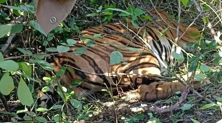goa tiger dead, tiger carcass goa forest, goa tigerdeath, tiger population, latest news, indian express