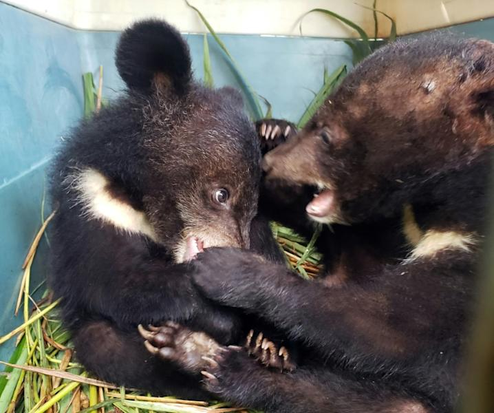 The rescued cubs were weak and malnourished after being fed on mainly rice porridge but are now in recovery (AFP Photo/Handout)