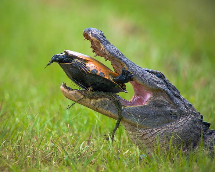 """In the Okefenokee Swamp, this alligator spent several hours attempting to crack the shell of this turtle. It eventually grew bored and the turtle walked away. (Photo and caption Courtesy Patrick Castleberry / National Geographic Your Shot) <br> <br> <a href=""""http://ngm.nationalgeographic.com/your-shot/weekly-wrapper"""" rel=""""nofollow noopener"""" target=""""_blank"""" data-ylk=""""slk:Click here"""" class=""""link rapid-noclick-resp"""">Click here</a> for more photos from National Geographic Your Shot."""