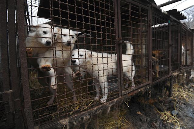 <p><strong>THE BAD</strong><br>Dog Meat Farms: <br>Dogs look out from a cage at a dog farm during a rescue event, involving the closure of the farm organised by the Humane Society International (HSI) in Namyangju on the outskirts of Seoul. The tradition of consuming dog meat has declined as the nation increasingly embraces the idea of dogs as pets instead of livestock, with eating them now something of a taboo among young South Koreans. (Getty Images) </p>