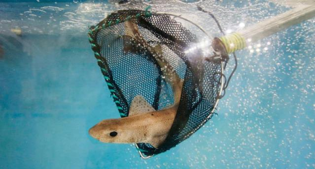 The spiny dogfish shark species is considered 'endangered' in Europe and 'vulnerable' worldwide (PA)