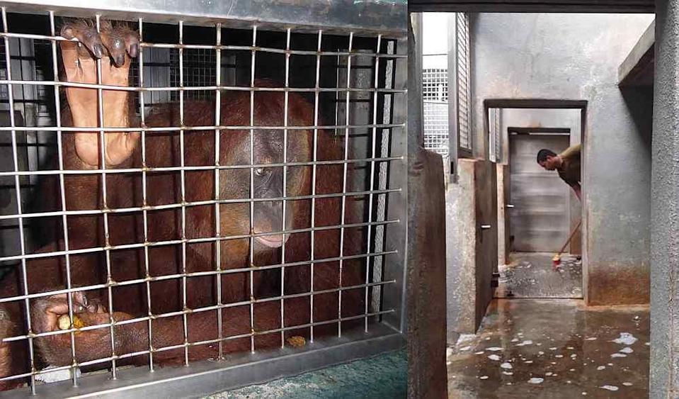 A Sumatran orangutan kept in a tiny night den at Zoo Negara (left) before it was cleaned and opened up to give animals more space (right). — Pictures courtesy of Friends of the Orangutans and Zoo Negara