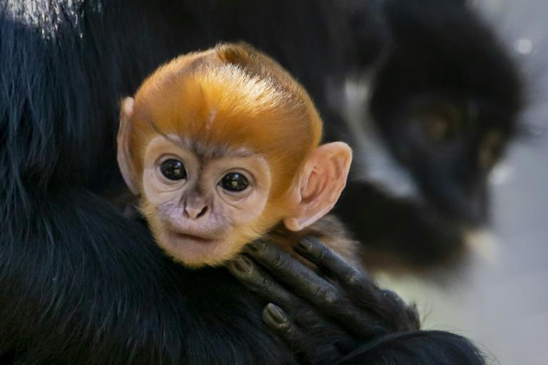 A newborn male Francois' Langur, one of the world's rarest monkeys, with only about 3,000 estimated to be left in the wild