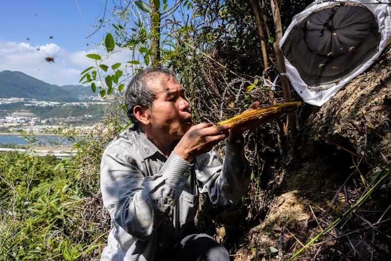 Beekeeper Yip Ki-hok, 62, blows bees off a honeycomb after removing their honey-filled nest on a hillside in Hong Kong.High up in the hills above Hong Kong (AFP Photo/Anthony WALLACE)