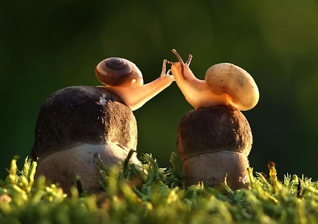 <p>Snails sharing a kiss. (Photo: Vyacheslav Mishchenko/Caters News) </p>