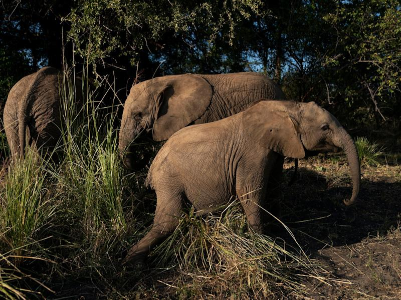 Molelo, Panda and Tuli eat and play in the grasses in the elephant orphanage at Elephants Without Borders in Kasane, Botswana: Carolyn Van Houten