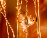 <p>This mouse on a cornstalk stopped just long enough for a quick pose. (Pic: Judith Matthews/SWNS) </p>