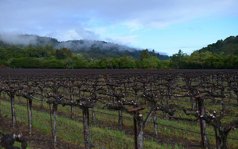 """<p><a href=""""https://www.matthiasson.com/"""" rel=""""nofollow noopener"""" target=""""_blank"""" data-ylk=""""slk:Matthaisson Wines"""" class=""""link rapid-noclick-resp"""">Matthaisson Wines</a> is one of the youngest producers on this list, with production beginning in 2003 by husband-and-wife team Steve and Jill Klein Matthaisson. They produce a balanced mix of popular varieties, along with some more rare grapes, like Ribolla gialla and Refosco.</p><p>""""Matthaisson has been making organic wines and using sustainable and regenerative agriculture practices since before it was cool,"""" Mahlstede says. """"Steve has been a force in the region, working with other farmers and winemakers to improve their farming techniques.""""</p><p>Being ahead of the curve has its rewards. Matthaisson has been awarded Winemaker of the Year by <em>San Francisco Chronicle</em> and <em>Food & Wine,</em> a James Beard Foundation award (plus six nominations), and countless other awards from those respected in the industry. The vineyard offers both in-person and virtual tastings. </p>"""