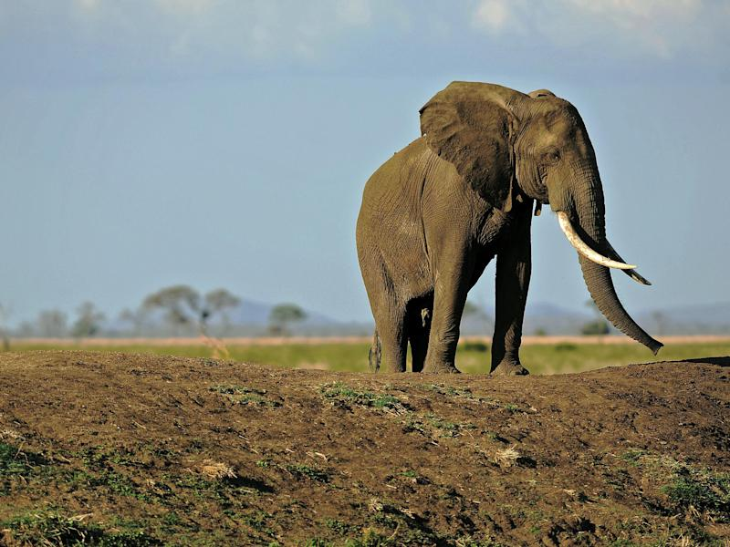 The EU banned the export of raw ivory last year, but the trade between member states continues: AFP/Getty