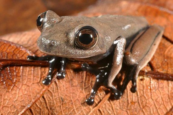 "This sleek chocolate-colored ""cocoa"" frog (Hypsiboas sp.) may be new to science."