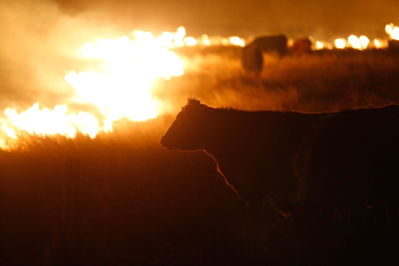 <p>Cattle graze by a wildfire near Protection, Kan., early Tuesday, March 7, 2017. Grass fires fanned by gusting winds scorched swaths of Kansas grassland Monday, forcing the evacuations of several towns and the closure of some roads. (Bo Rader/The Wichita Eagle via AP) </p>