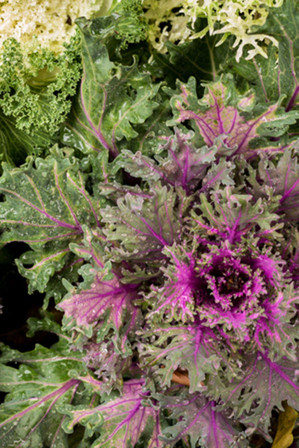 <p>Keep this kale well-watered if you want to see vibrant purple and green hues this fall. </p><p><strong>Zones: 6-11</strong></p>
