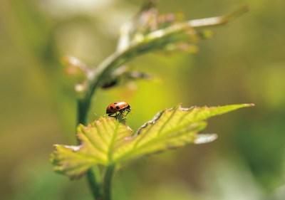 """Natural pest control with beneficial insects such as ladybugs is one of many sustainable winegrowing practices of California wineries, which are celebrating """"Down to Earth Month"""" in April. George Rose photo."""