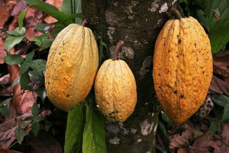 FILE PHOTO: Cocoa grows in an small producer farm near Puerto Cabello, about 180 km (115 miles) west of Caracas, May 15, 2008. REUTERS/Susana Gonzalez/File Photo