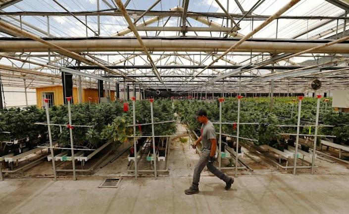 """Photographs by Al SeibLos Angeles Times A WORKER TENDS marijuana plants in Santa Barbara County, where officials have permitted the densest concentration of pot farms in the U.S. """"There's a very corrupting influence with the money,"""" one critic says."""