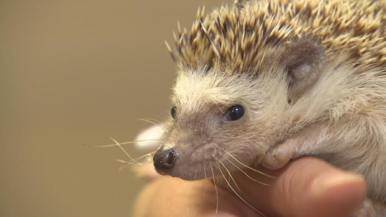 Markham girl, 10, goes to council to fight bylaw banning pet hedgehogs