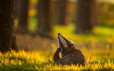 Natural England is facing two legal challenges in July connected to the badger cull programme - Credit: ANDREW PARKINSON