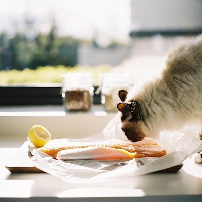 cat sniffing salmon on kitchen counter