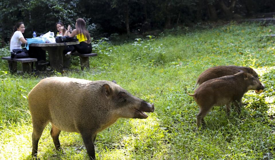A family of wild boars meanders past a picnic table at the Aberdeen Country Park. Photo: Edmond So